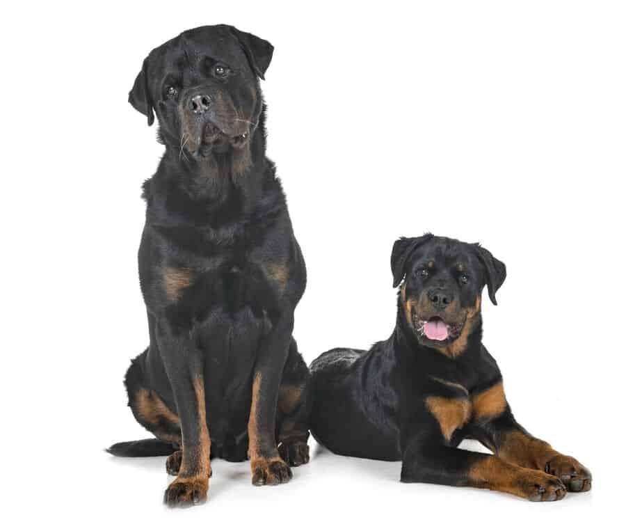 Best Age to Neuter a Rottweiler