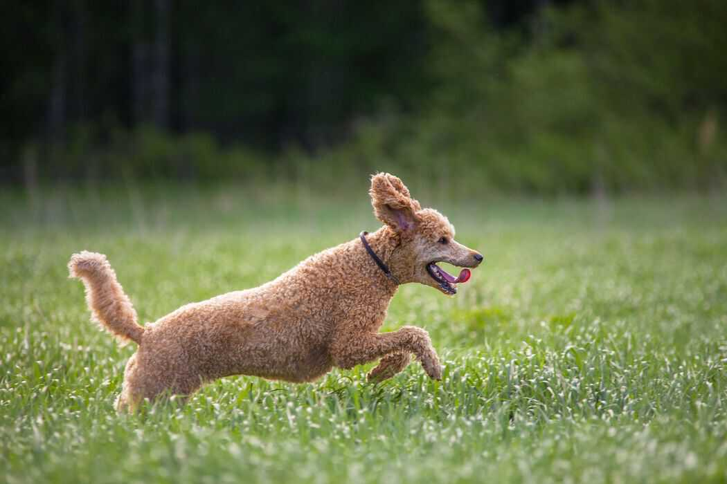 Can Poodles Run Long Distances?