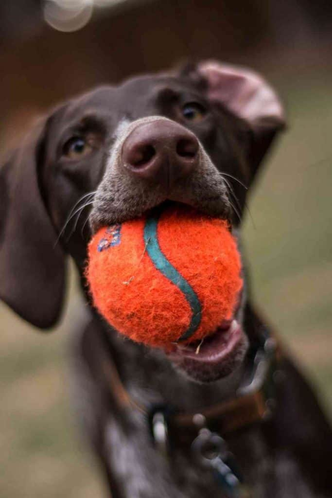 pointer dog photo excersizing and playing with a ball