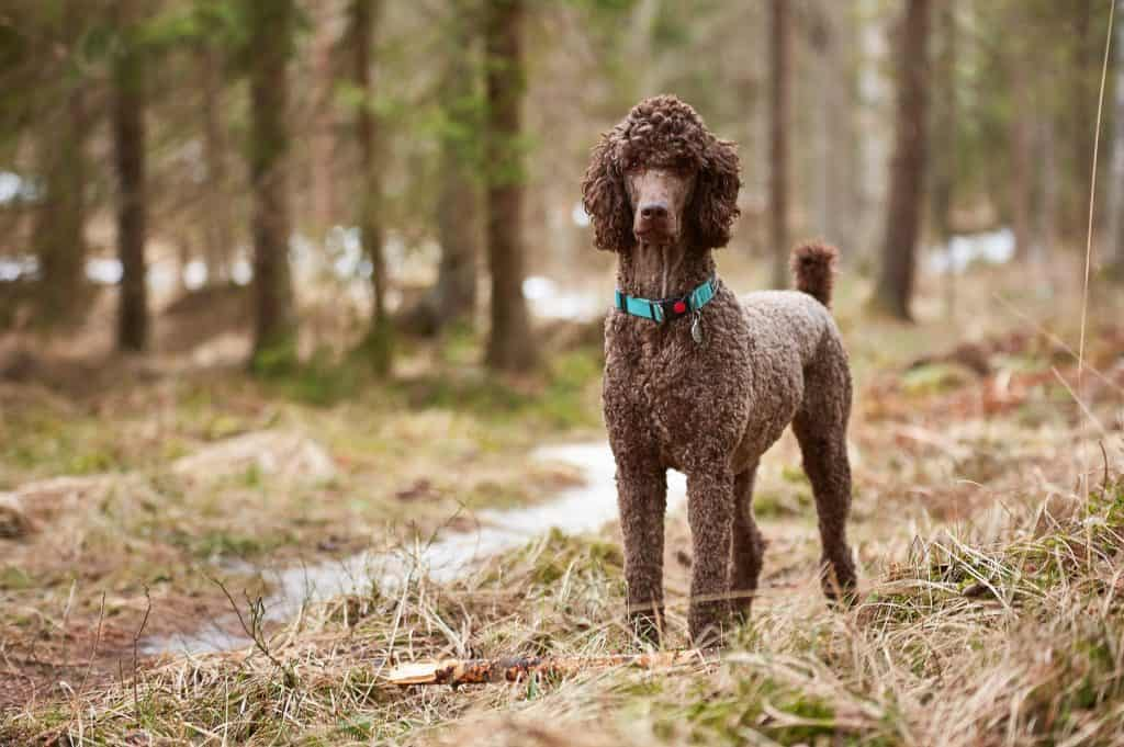 Are Poodles Good with Kids? A Guide for Parents.