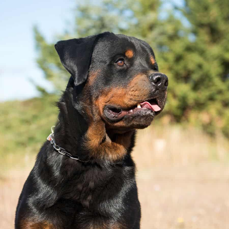 Can Rottweilers Live In Apartments A Complete Guide Embora Pets