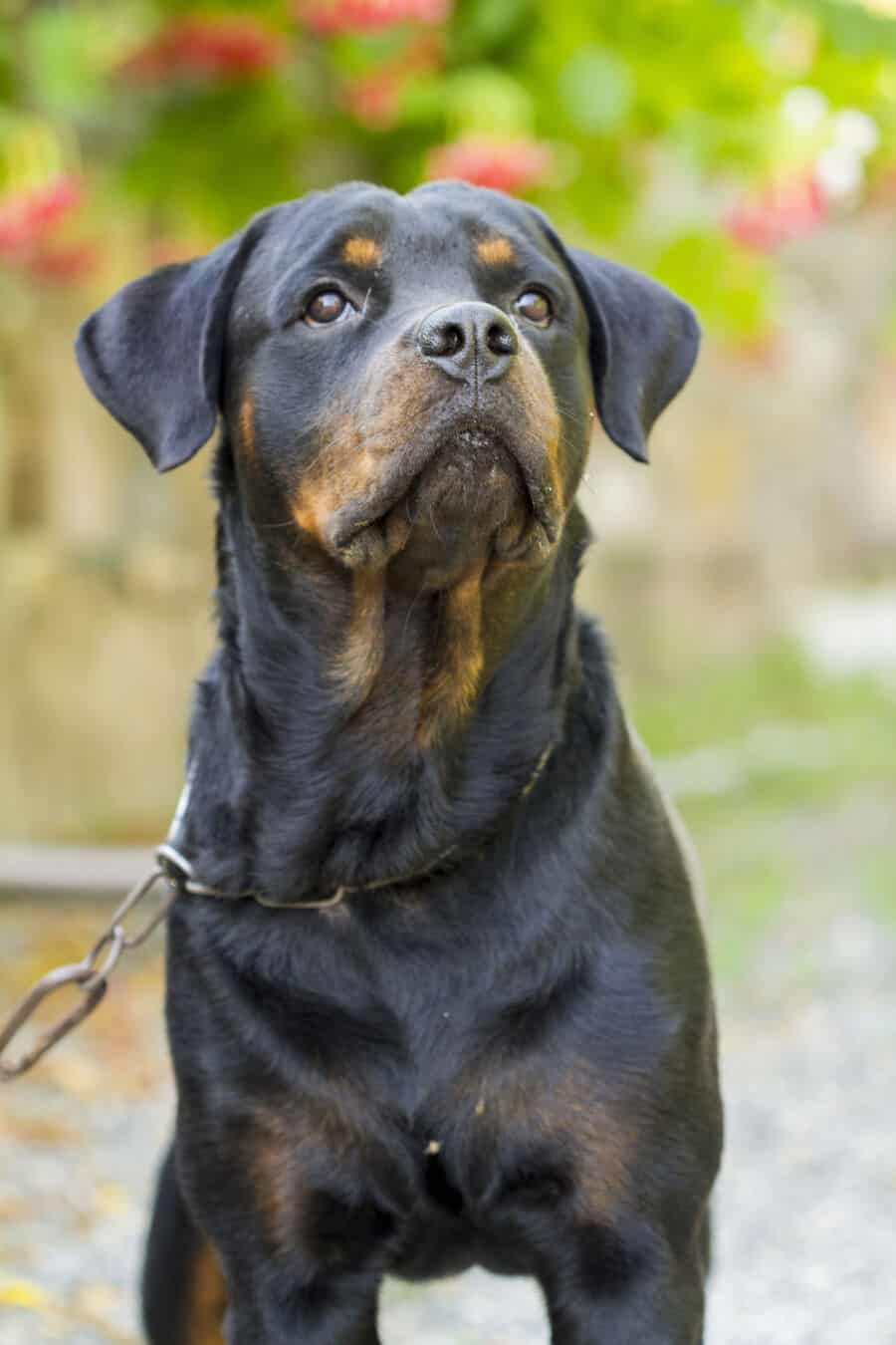 Can Rottweilers Live Outside?