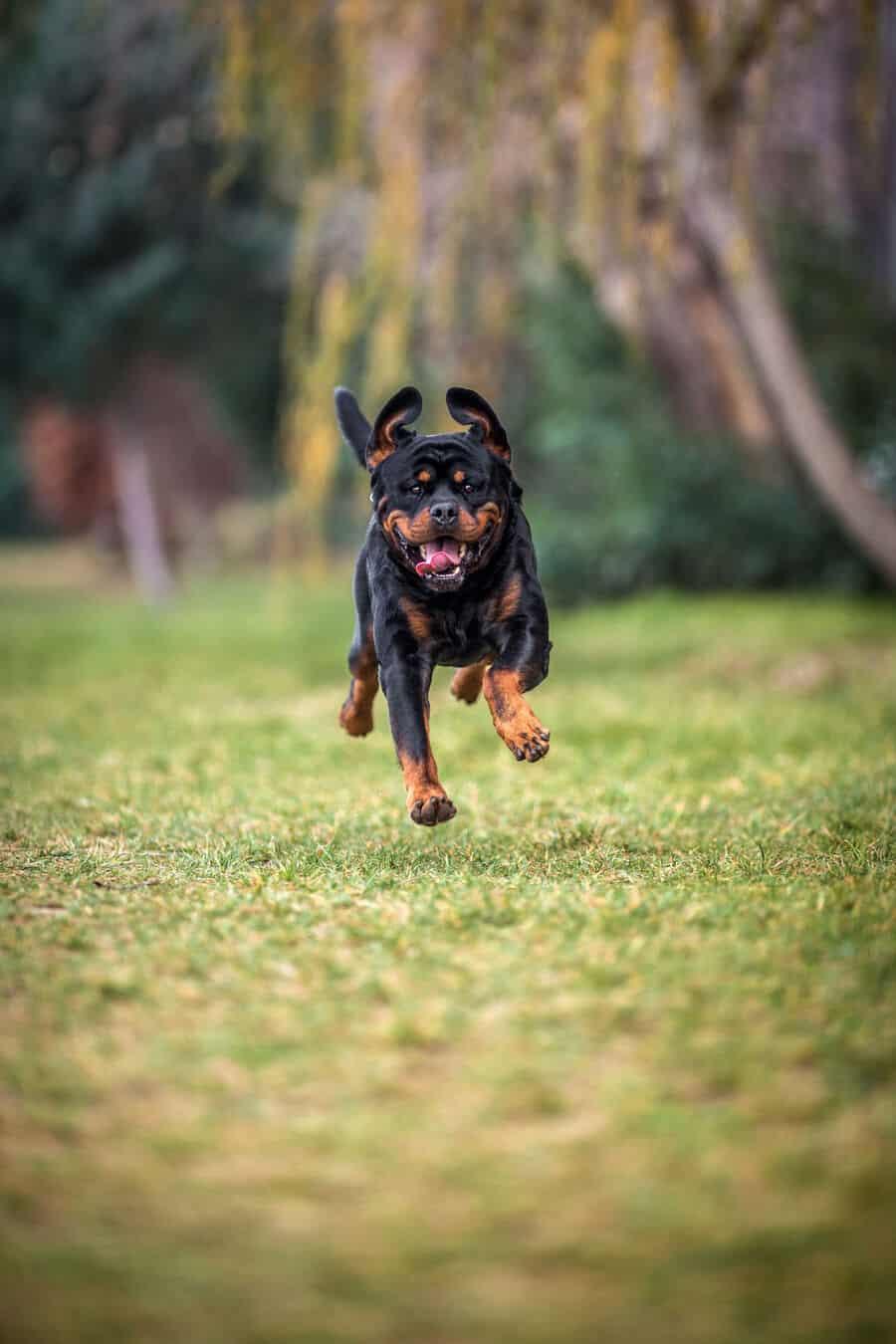 Can Rottweilers Run Long Distances?