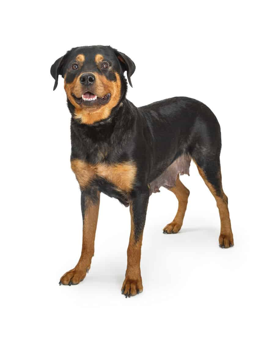 Rottweiler Intelligence: Are They Really Dumb like Some People Say?