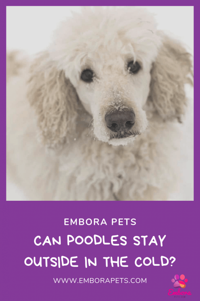 Can Poodles Stay Outside In The Cold Embora Pets