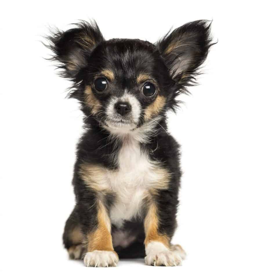 What are Chihuahuas Bred for? – Embora Pets