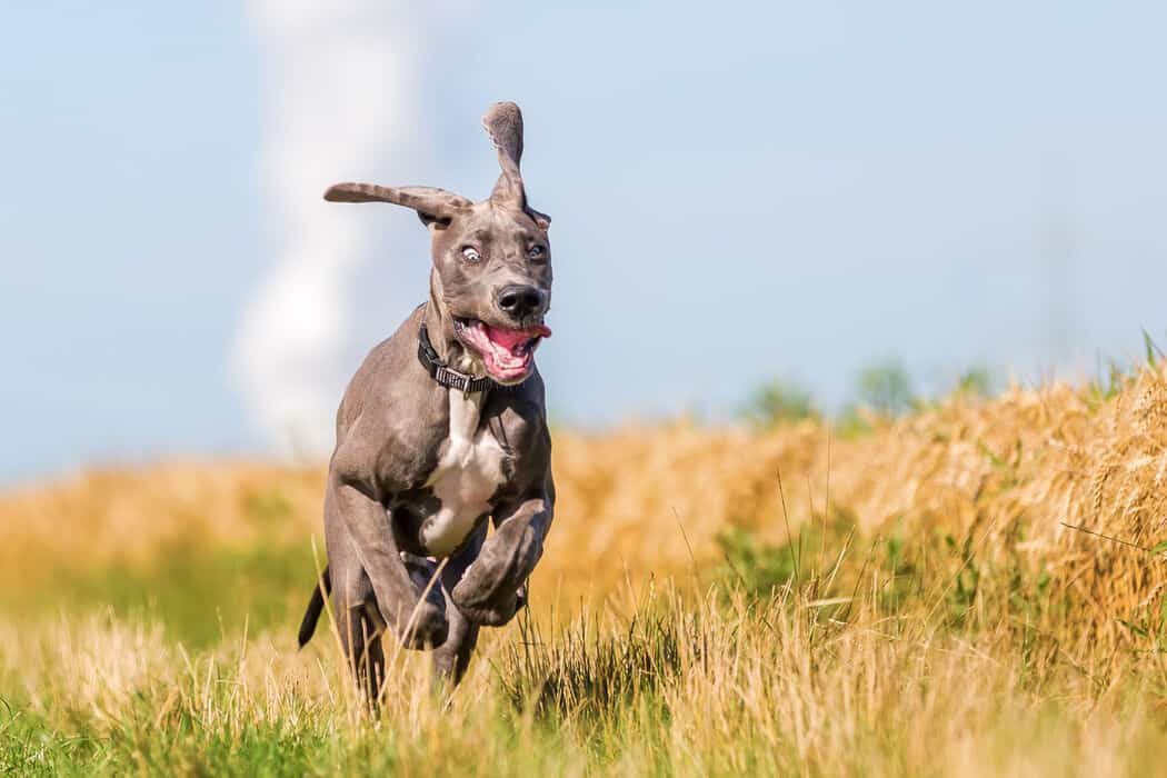 How to Get Great Danes to Calm Down