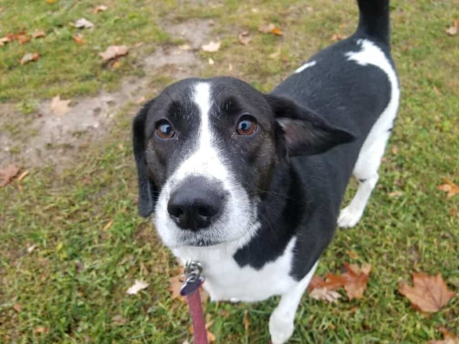 Dog: Nashville, A Beagle Mix