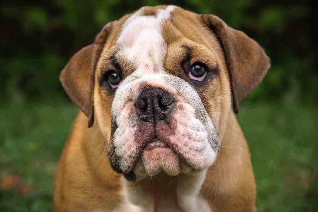 Are English Bulldogs Dangerous?