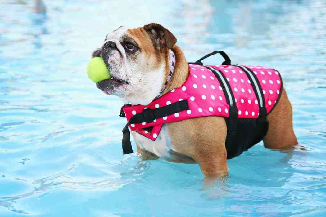 Are English Bulldogs Good Pets? #dogs #puppies #bulldogs
