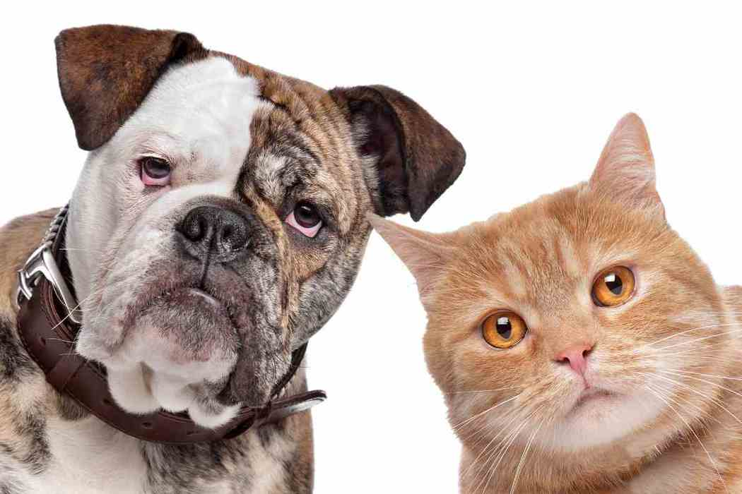 Do Bulldogs Get Along with Cats?