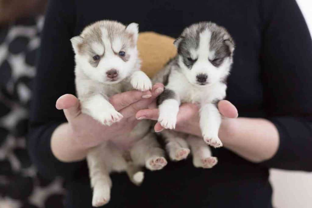 How To Take Care Of A Husky Puppy: A First-Time Owner's Guide
