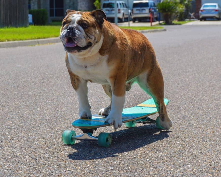 How Big Do English Bulldogs Get?