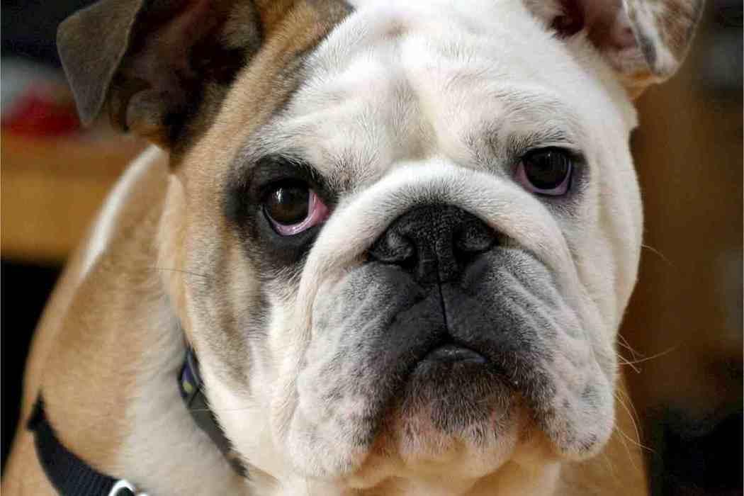 Do English Bulldogs Bark A Lot?