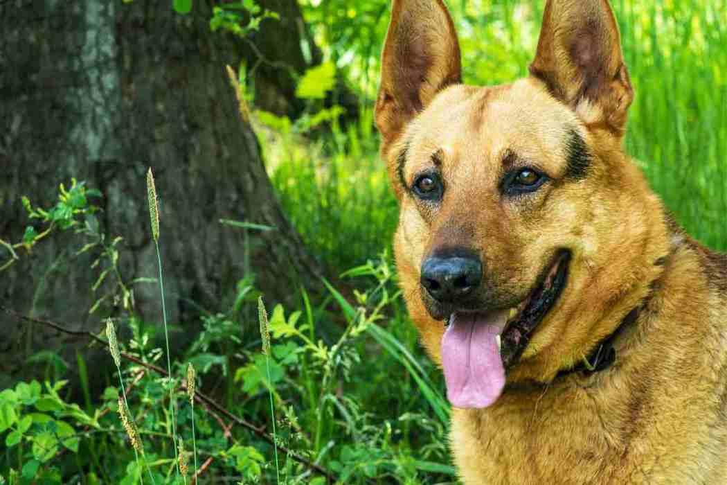 Do German Shepherds Bark a Lot?