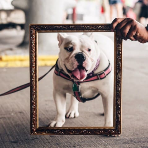 Are English Bulldogs Good For First-Time Owners? #dogs #puppies #bulldogs