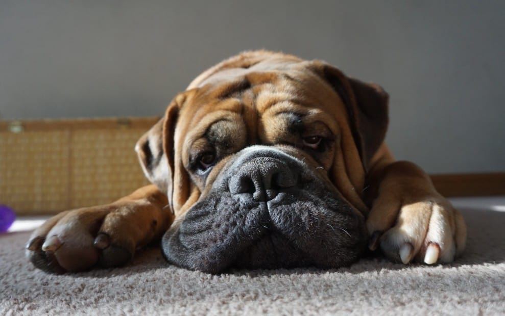 Are English Bulldogs Good For First-Time Owners?