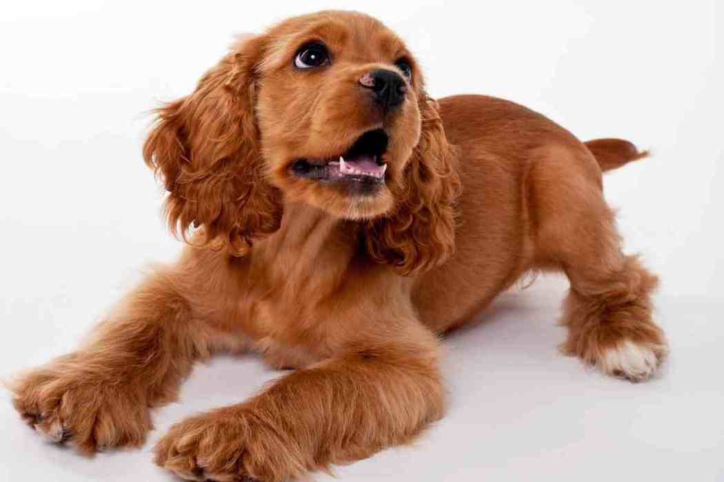 Cocker Spaniel At What Age Is A Cocker Spaniel Fully Grown Embora Pets