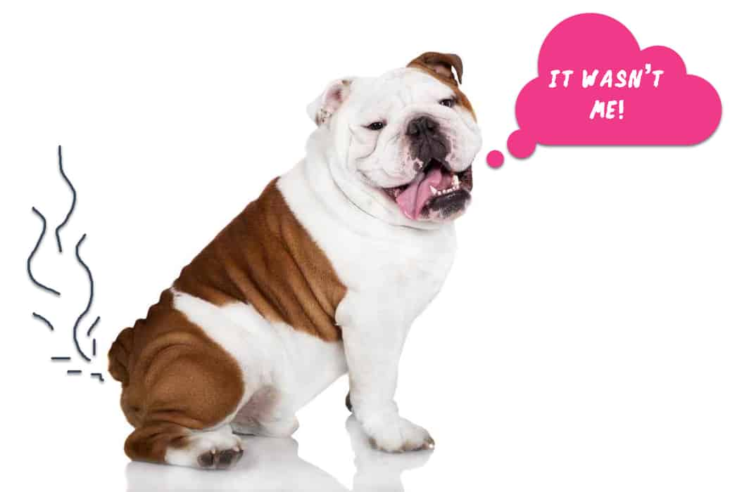 Bulldogs: Do Bulldogs Fart A Lot?