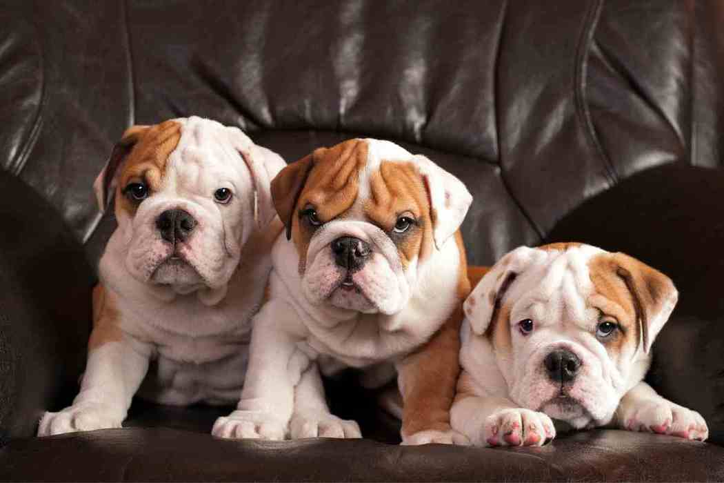 Bulldogs: How Often Can An English Bulldog Eat?