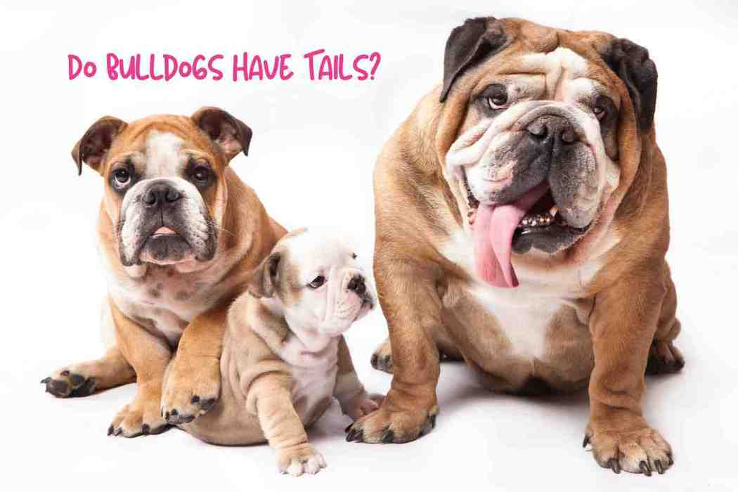 Do Bulldogs Have Tails?