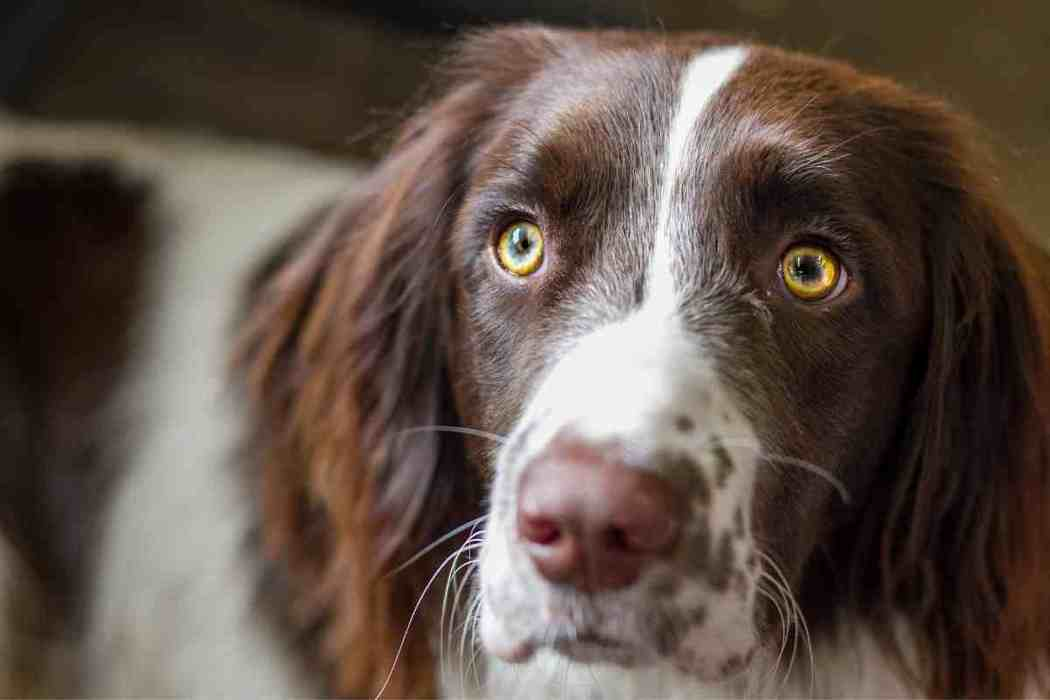 Do Springer Spaniels Have A Double Coat?