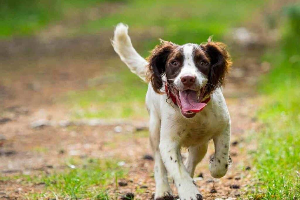 Do Springer Spaniels Shed? – Embora Pets