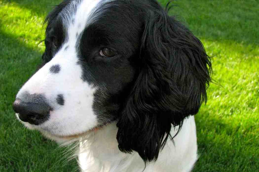 Why Does My Springer Spaniel Smell So Bad?