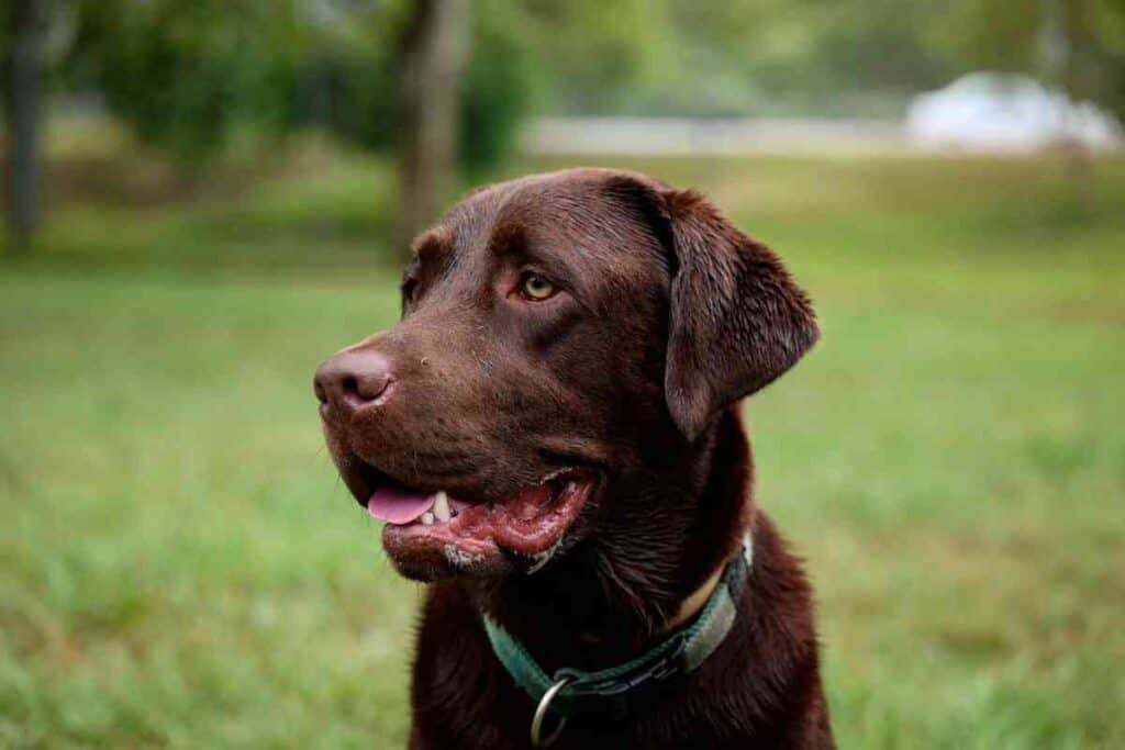 Can A Labrador Live Outside? #dogs #puppies #labs #labrador #huntingdogs #hunting #doglife #retrievers