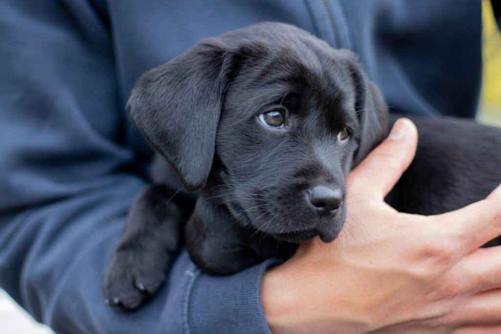 Do Labrador Retrievers Like To Cuddle? #dogs #puppies #labs #labrador #workingdog #gundogs #pets