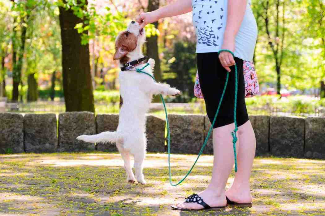 Are Jack Russell Terriers Easy To Train?