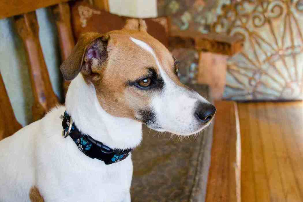 Are Jack Russell Terriers Good Family Dogs?