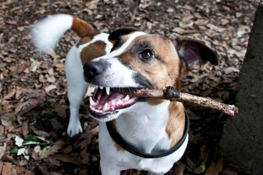 At What Age Do Jack Russells Calm Down?