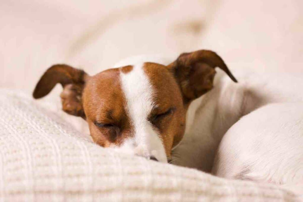 Is it Normal for Jack Russells to Sleep a Lot?