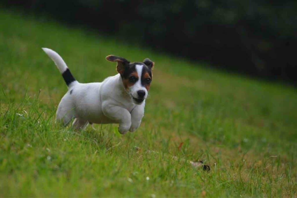 Why Are Jack Russells So Hyper?