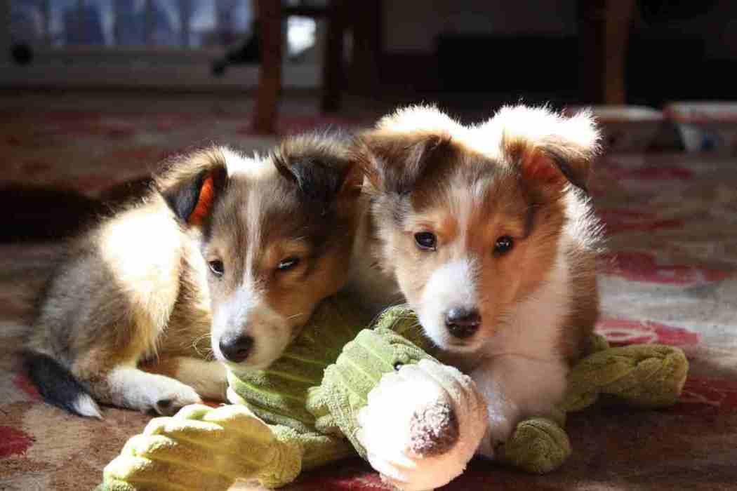 Best Shetland Sheepdog [Sheltie] Accessories!