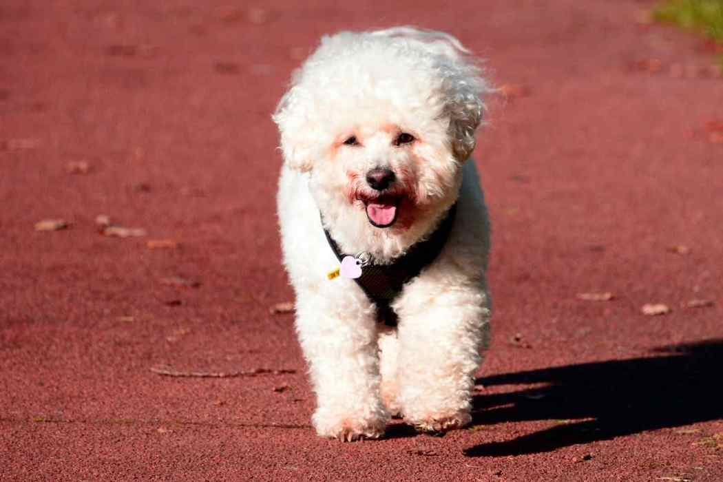 Bichon Frise: What Can And Cannot Bichons Eat?