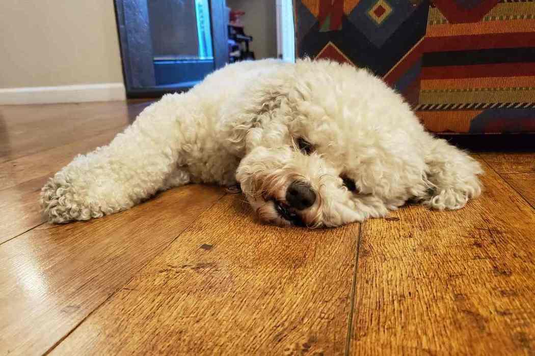 Do Bichon Frises Sleep a Lot?