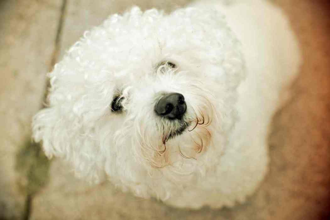 Do Bichon Frises Bite?