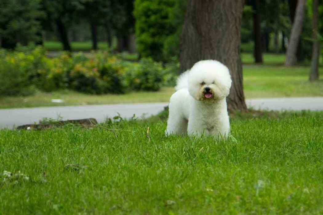 Do Bichon Frise Dogs Bark a Lot?