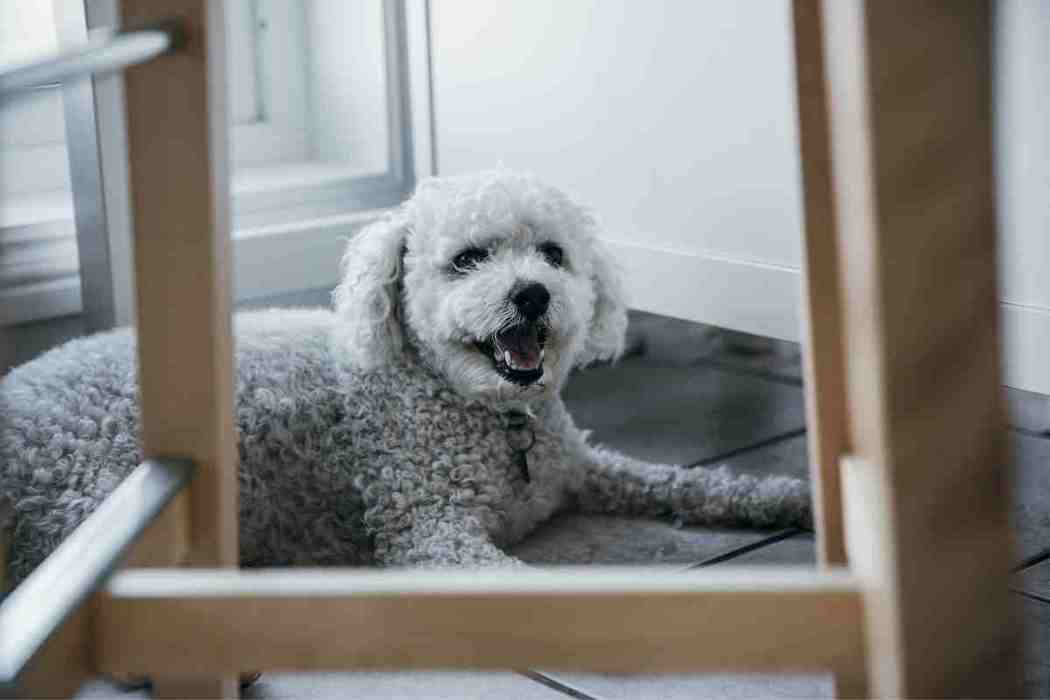 Can Bichon Frises be left alone?