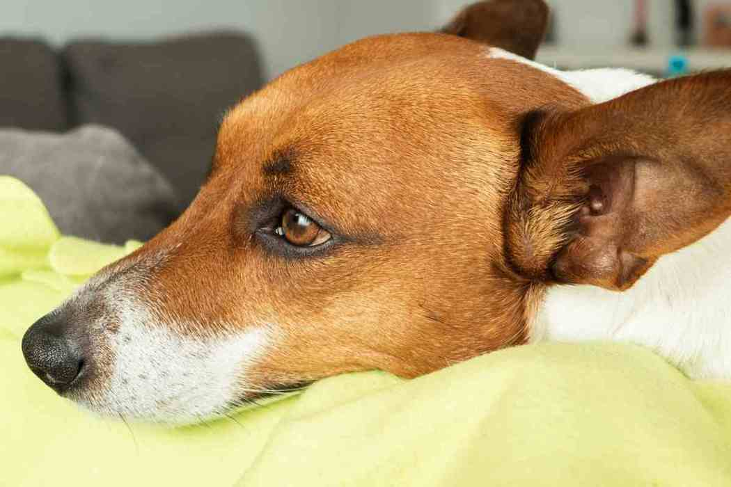 Can a Jack Russell Terrier be a Service Dog