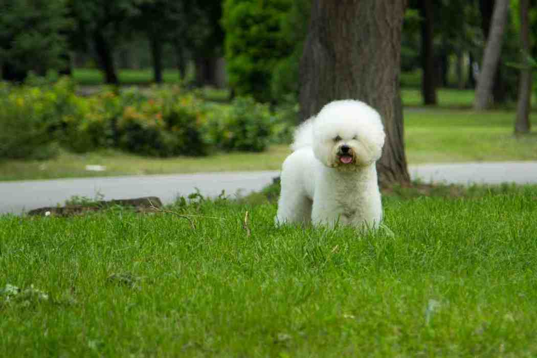 Do Bichon Frise Shed A Lot?