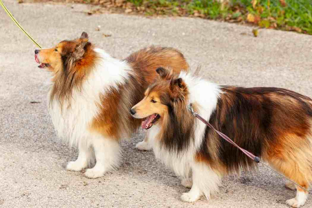 Do Shelties Change Colors? [Shetland Sheepdogs]