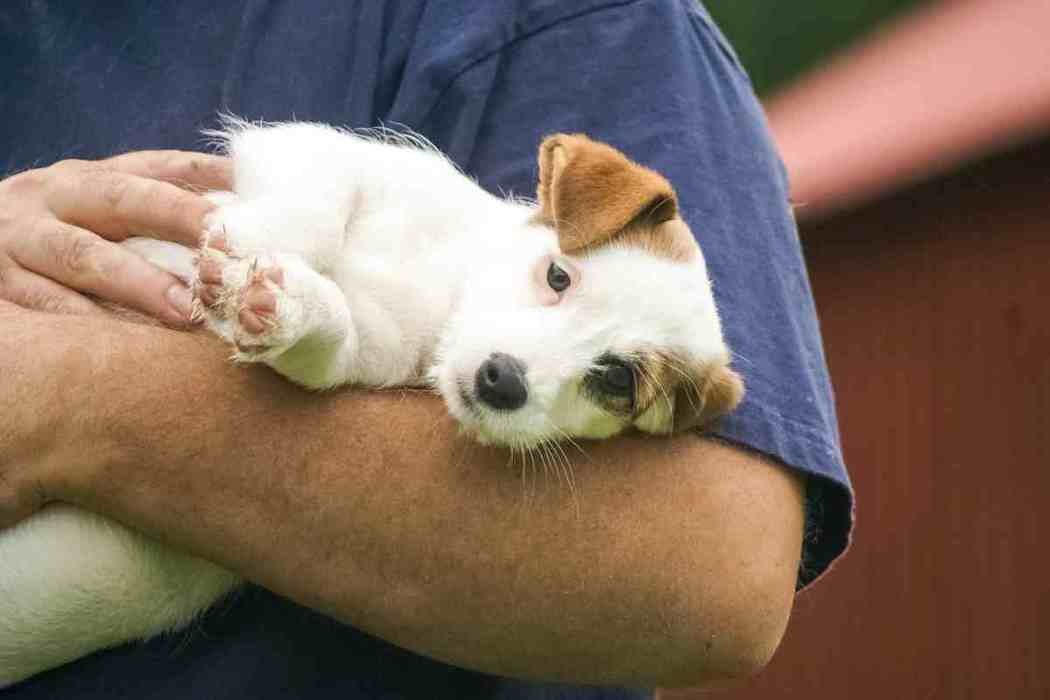 How big do Jack Russell Terriers Get?