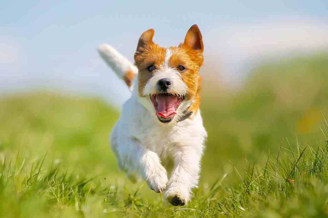 When Do Jack Russell Terriers Stop Growing