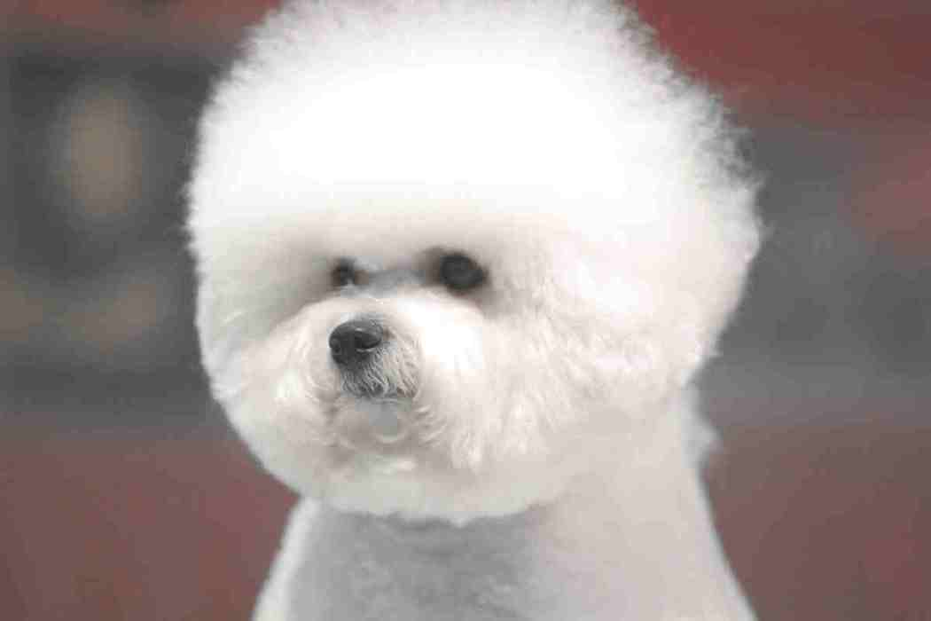 When Does a Bichon Frise's Hair go Curly?