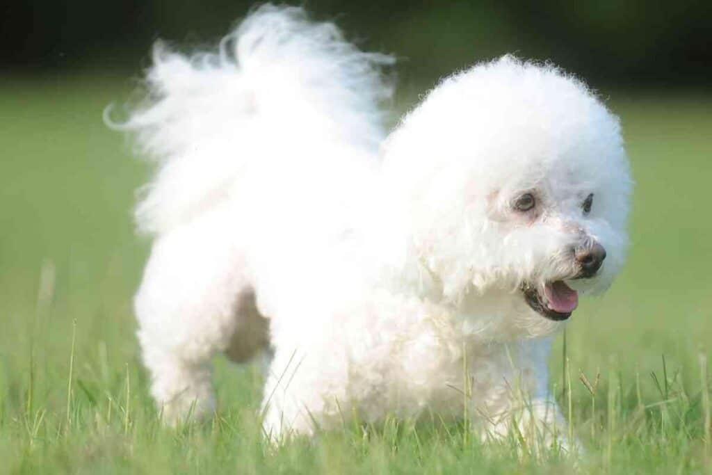 Are Bichon Frises Hypoallergenic - #puppy #puppies #shedding #allergenic #allergies