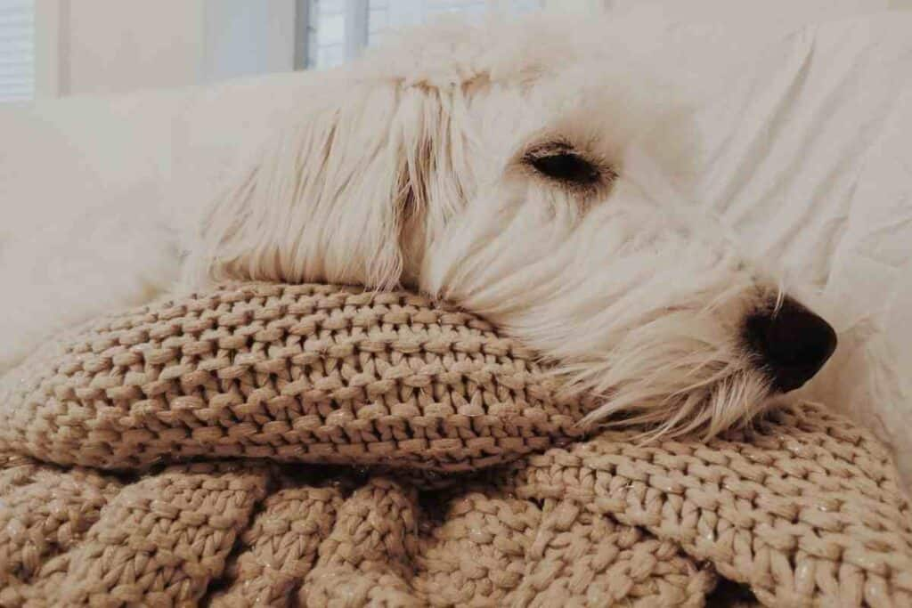 How Much Sleep Does A Goldendoodle Puppy Need?