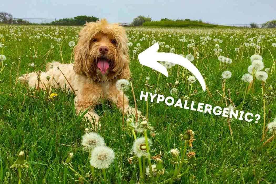 Are Cockapoos Hypoallergenic?